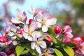 Flowering apple bush at springtime Royalty Free Stock Photo