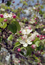Flowering apple tree Stock Photo