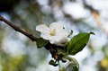 Flowering apple tree blossoming out light flower of Royalty Free Stock Photo