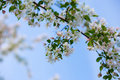 Flowering apple tree on blue sky background Stock Image