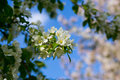 Flowering apple tree on blue sky background Royalty Free Stock Photo