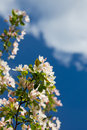 Flowering apple tree on blue sky background Royalty Free Stock Image