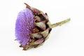 A Flowering Artichoke