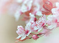 Flowering - blooming fruit tree Royalty Free Stock Images