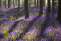 Flowering bluebells in spring forest Royalty Free Stock Photo
