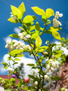Flowering blueberry shrub with lush green leaves and white flowers with blue sky background Stock Photos