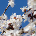 Flowering branch of apricot against blue sky Stock Photos