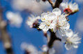 Flowering branch of apricot against blue sky Royalty Free Stock Images