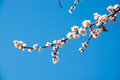 Flowering branch of apricot on background blue sky Royalty Free Stock Photos