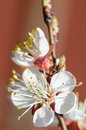 Flowering branch of apricot isolated Stock Photo