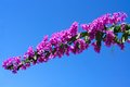 Flowering branch of bougainvillea against the bright blue sky Stock Image