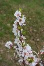 Flowering branch of Korean cherry Prunus tomentosa