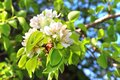 Flowering branch of pear tree in a spring Royalty Free Stock Photos