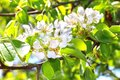 Flowering branch of pear tree in a spring Royalty Free Stock Image