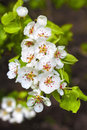 Flowering branch of pear tree in a spring Royalty Free Stock Images