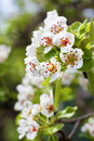 Flowering branch of pear tree in a spring Stock Images