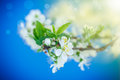 Flowering branch of plum Royalty Free Stock Photo