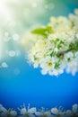 Flowering branch of plum Royalty Free Stock Photo