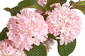 Flowering branch of snowball viburnum viburnum plicatum isolat flowers leaves and stems a forma cultivar kerns pink isolated Stock Image