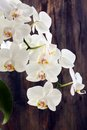 Flowering branch white orchids wooden wall background Royalty Free Stock Photography