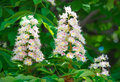 Flowering branches of chestnut aesculus hippocastanum on the background green leaves Stock Image