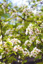 Flowering branches of pear tree in a spring Royalty Free Stock Photo