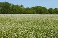 Flowering buckwheat field Royalty Free Stock Images