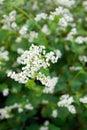 Flowering buckwheat flowers field in summer Stock Photography
