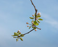 Flowering and budding branch of an apple tree downward hanging with blossoms buds against the blue sky Stock Image