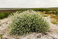 Flowering bush tumbleweed on the shore of the dry lake Royalty Free Stock Photo