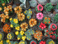 Flowering cacti lots of colorful cactuses seen from above Stock Image