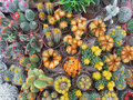 Flowering cacti lots of colorful cactuses seen from above Royalty Free Stock Photo