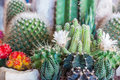 Flowering cactus on stock photo Royalty Free Stock Image