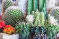 Flowering cactus on stock photo Royalty Free Stock Image