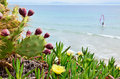Flowering cactuses of the beach valdevaqueros and succulent plants are on background ocean with a kitesurfer famous spanish is Royalty Free Stock Photos