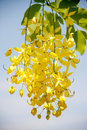 Flowering cassia beautiful with bluesky Royalty Free Stock Images