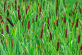 Flowering cattail in a swamp