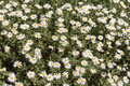Flowering chamomile growing in summer meadow Royalty Free Stock Photo