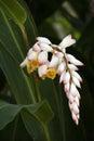 Flowering Champion Tree Royalty Free Stock Photo