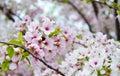 Flowering Cherry Blossom Tree