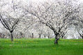 Flowering cherry orchard in MIchigan Royalty Free Stock Photo