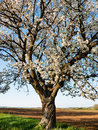 Flowering cherry tree close view of crown with natural blue background Royalty Free Stock Photography