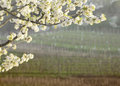Flowering cherry tree with collio vineyards background vineyard at sunset Stock Photography