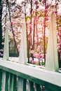 Flowering cherry tree in spring garden Royalty Free Stock Photo