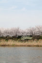 Flowering cherry tree springtime near a lake Stock Photography