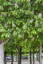 Flowering chestnut trees Royalty Free Stock Photography