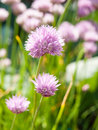 Flowering chives Royalty Free Stock Photo