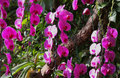 Flowering of colorful orchids, Thailand