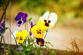 Flowering colorful pansies in the garden as floral background in sunny day. Selective focus on one flower Royalty Free Stock Photo