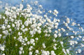 Flowering cotton grass on a background of water Royalty Free Stock Image